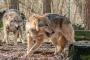 Itálie: Plán péče o vlka se ocitl na mrtvém bodě