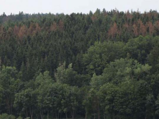 Hradecký kraj dá vlastníkům lesů peníze boj s kůrovcem