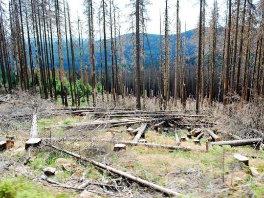 """Kůrovec a """"nové odumírání lesa"""" v Německu"""