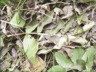 Zákeřnou houbu na jasanech je potřeba odhalit již v raném stádiu