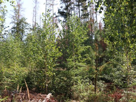 Bříza není vhodnou přípravnou dřevinou pro smrk, lepší je osika