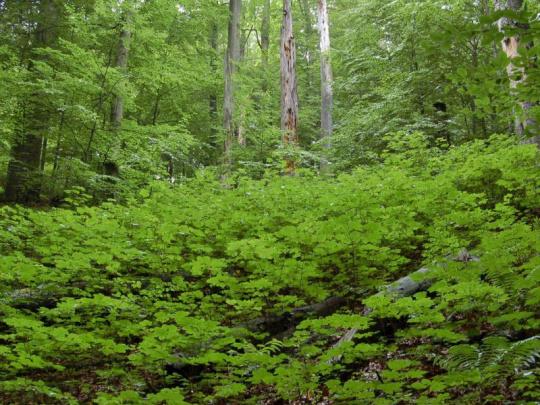 Javor klen je perspektivní dřevinou pro obnovu rozsáhlých holin