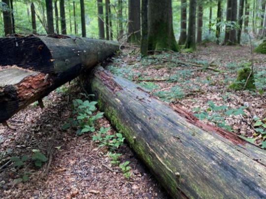 Mrtvé stromy ročně uvolní podobné množství uhlíku jako spalování fosilních paliv